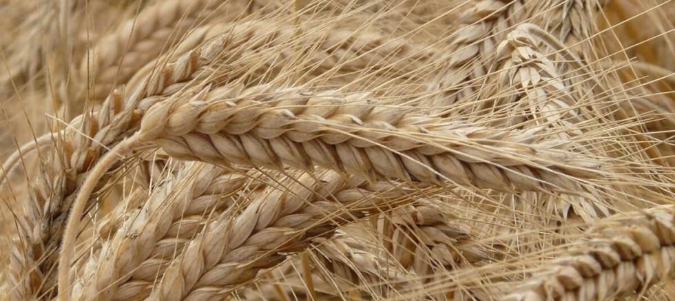 Buğdayda da nasıl ithalatçı olduk!