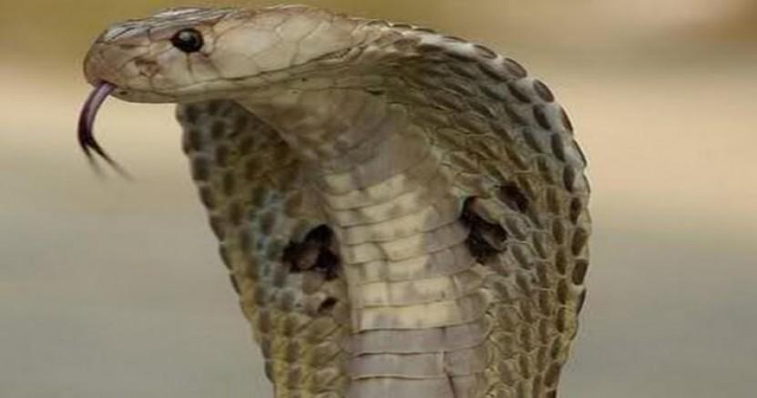 Karısını kiraladığı kobra yılanı ile öldürttü