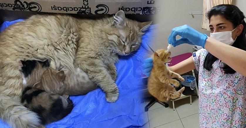 Kedi, yavrularını doktora götürdü: 'Miyavlayarak yardım istedi' (VİDEO)